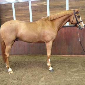 Prospect grand prix horse, Amon