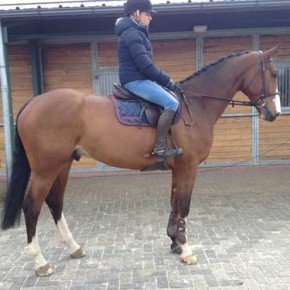Super fine amateur horse for sale